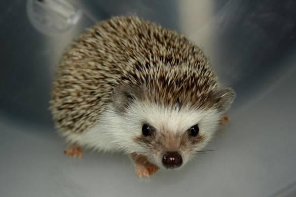 The Hedgehog Poster