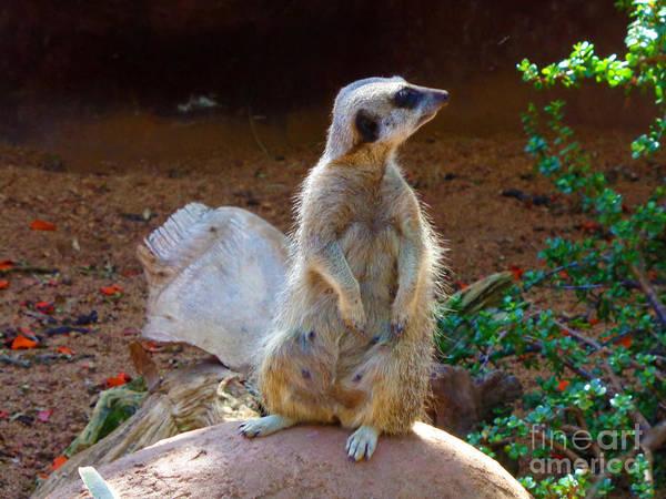 The Lookout - Meerkat Poster