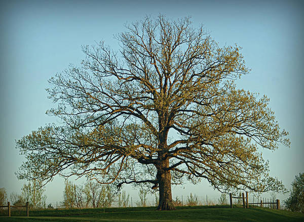 The Mighty Oak In Spring Poster