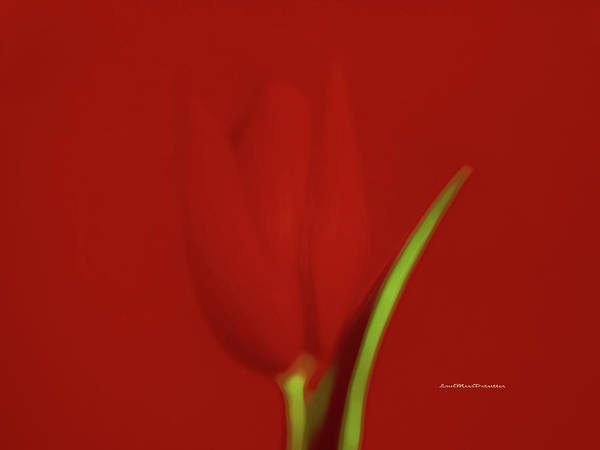 The Red Tulip Art Photograph 2 Poster