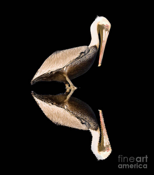 The Reflection Of A Pelican Poster