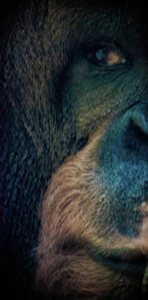 The Shy Orangutan Poster