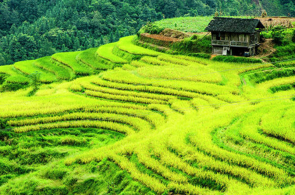 The Terraced Fields Scenery In Autumn Poster