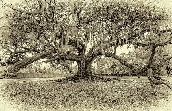 The Tree Of Life Sepia Poster