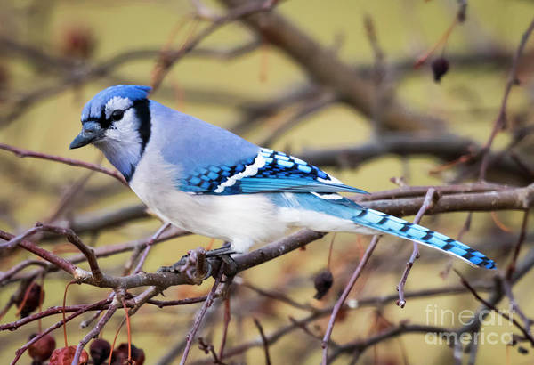 The Winter Blue Jay  Poster