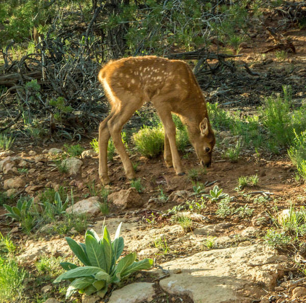 Three Day Old Fawn Poster
