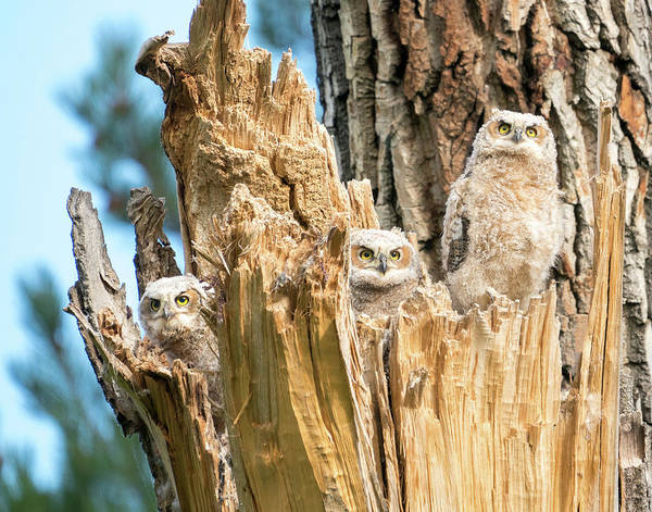 Three Great Horned Owl Babies Poster