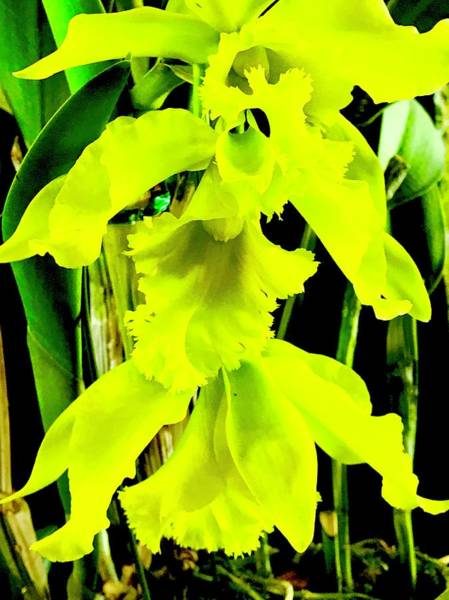 Three Orchids In Yellow Poster