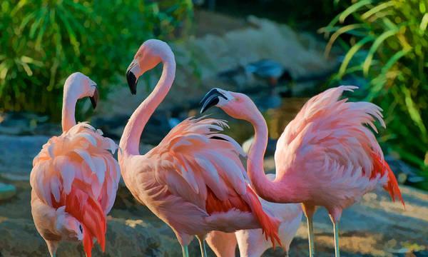 Three Pink Flamingos Strutting Their Stuff Poster