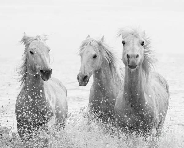 Three White Horses Splashing Poster