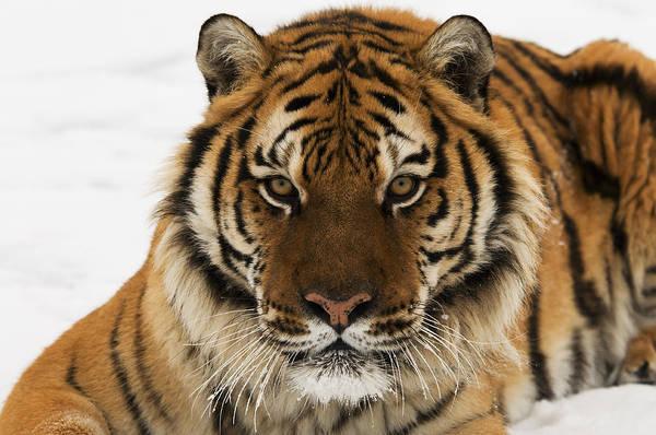 Tiger Stare Poster