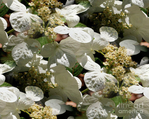 Tiled White Lace Cap Hydrangeas Poster