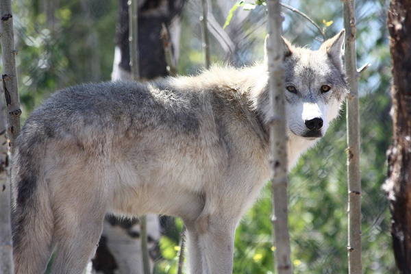 Poster featuring the photograph Timber Wolf by Shane Bechler