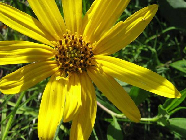 Tiny Sunflower Poster