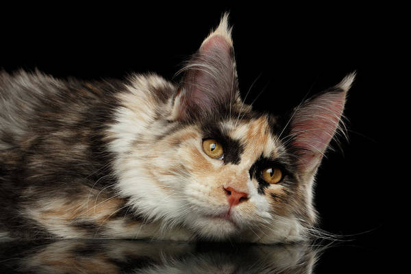Tired Maine Coon Cat Lie On Black Background Poster