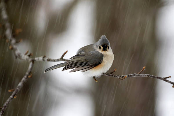 Titmouse During Snow Storm Poster