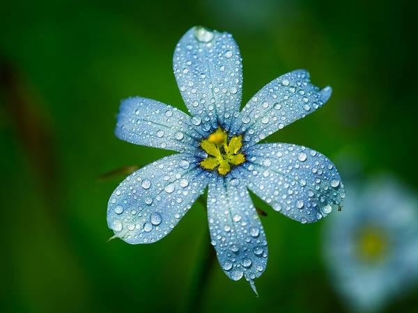Top View Of A Blue Eyed Grass Flower Poster