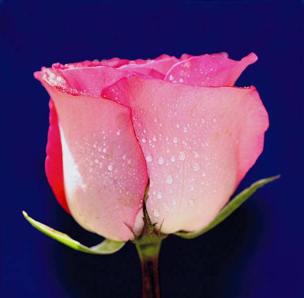 Translucent Rose Poster