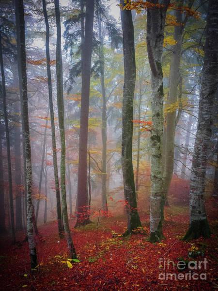 Tree Trunks In Fog Poster