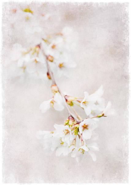 Triadelphia Cherry Blossoms Poster
