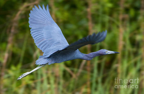 Tricolored Heron Flight Poster