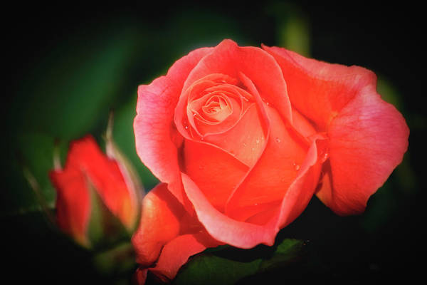 Tropicana Rose Poster
