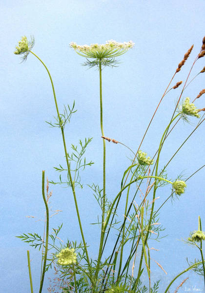 Tuft Of Queen Anne's Lace Poster