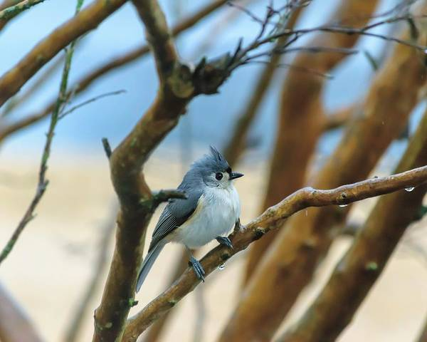 Tufted Titmouse In Tree Poster