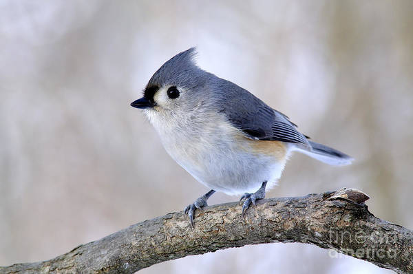 Tufted Titmouse On Dogwood 2 Poster