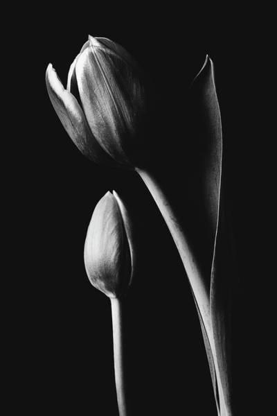 Tulip #173 Poster