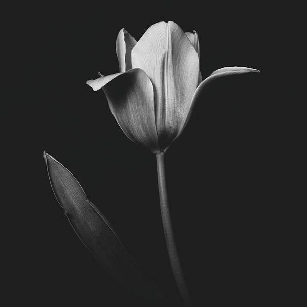 Tulip 0155 Poster