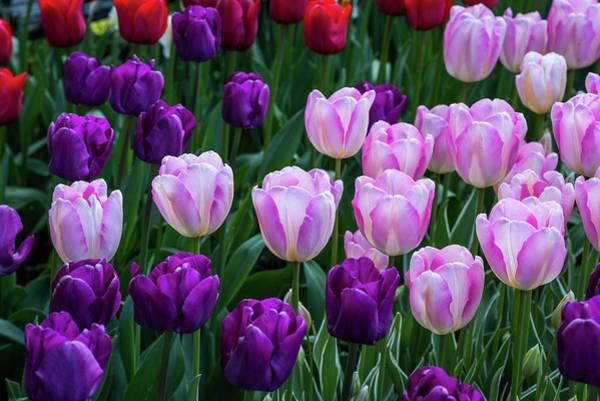 Tulip Blush Poster