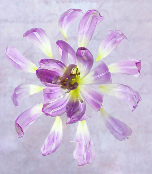Tulip Patterns  Poster