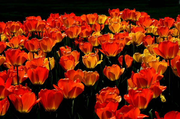 Tulip Splendor Poster