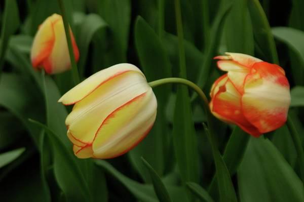 Nodding Tulips Poster