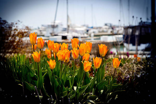 Tulips By The Harbor Poster