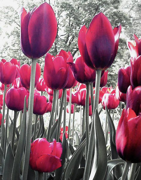Tulips Tinted Poster