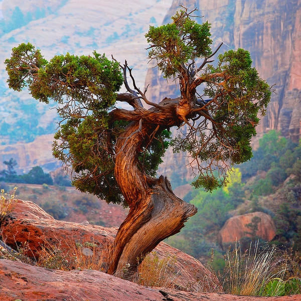 Twisted, Cedar Pine, Zion National Park, Utah Poster
