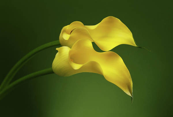 Two Calla Lily Flowers On Green Background Poster