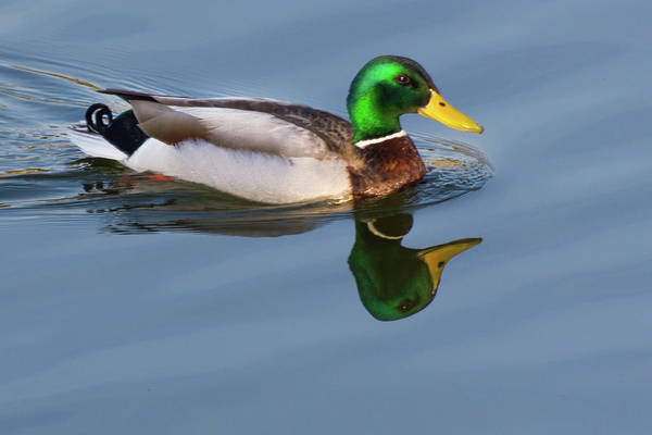 Two Headed Duck Poster