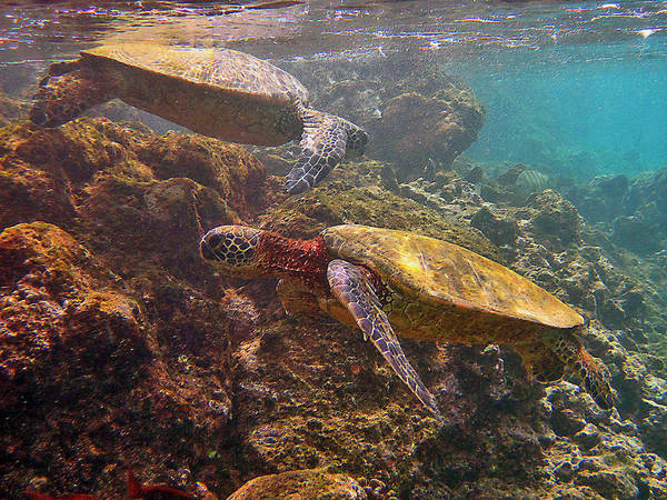 Two Honu On The Reef Poster