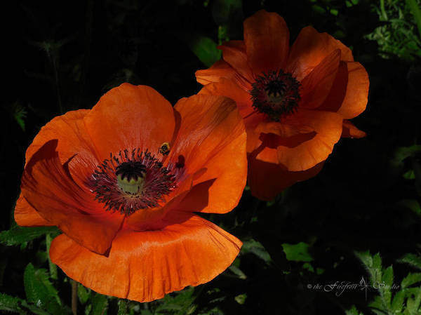 Two Poppies  And A Bee Poster