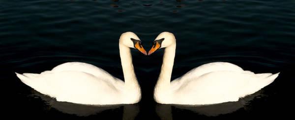 Two Symmetrical White Love Swans Poster
