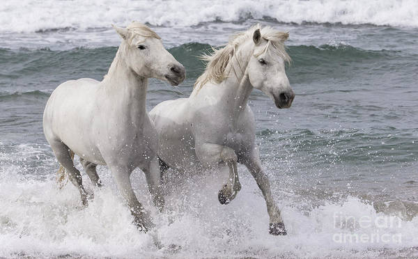 Two White Horses Play In The Surf Poster