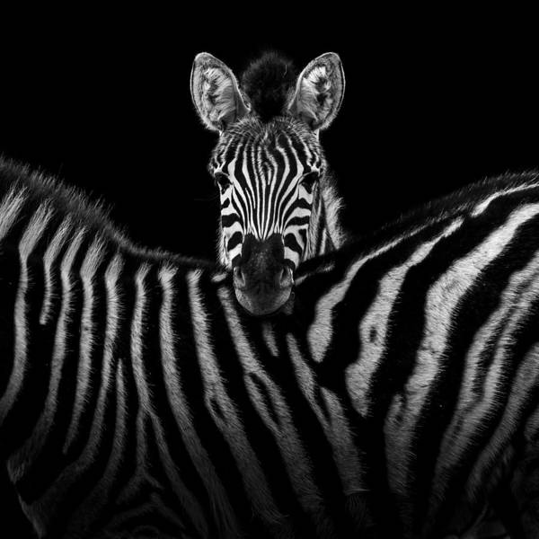 Two Zebras In Black And White Poster