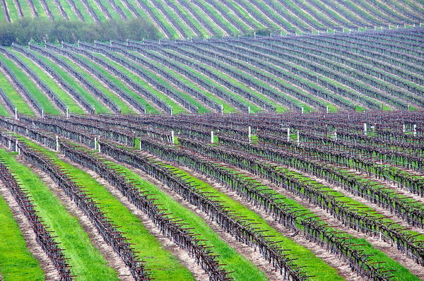Undulating Vineyard Rows Poster