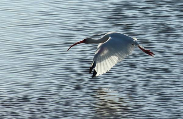 Ibis Fly By Poster
