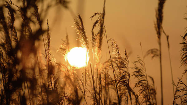 View Of Sun Setting Behind Long Grass B Poster