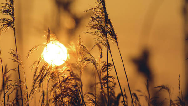 View Of Sun Setting Behind Long Grass C Poster