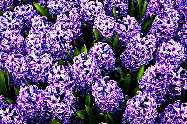 Violet Hyacinth Poster